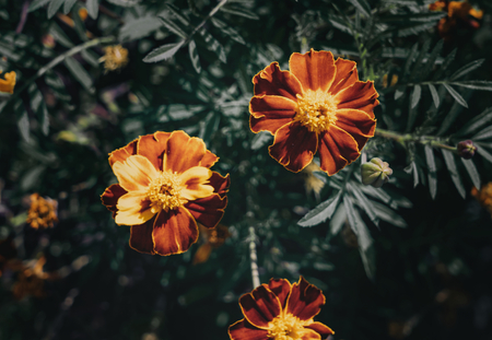 Tagetes patula beautifully blooming in the garden