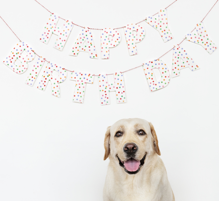 Cute Labrador Retriever at a birthday party