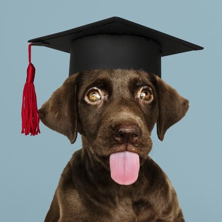 Cute chocolate Labrador Retriever in a graduation cap