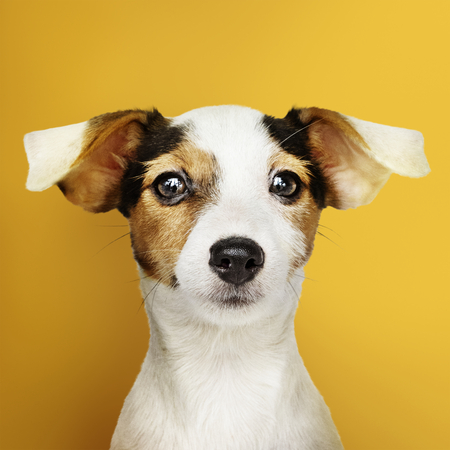 Adorable Jack Russell Retriever puppy portrait Stockfoto - 116618561