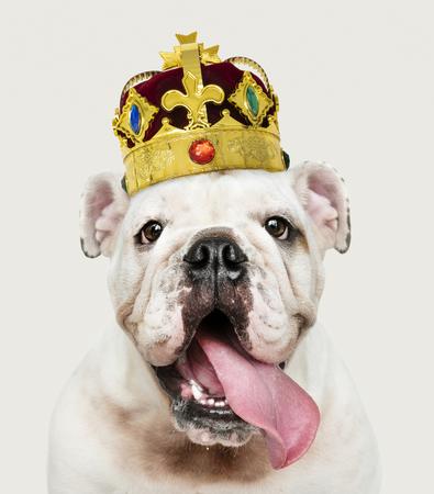 Lindo cachorro de Bulldog Inglés blanco en una clásica corona de terciopelo rojo y oro Foto de archivo
