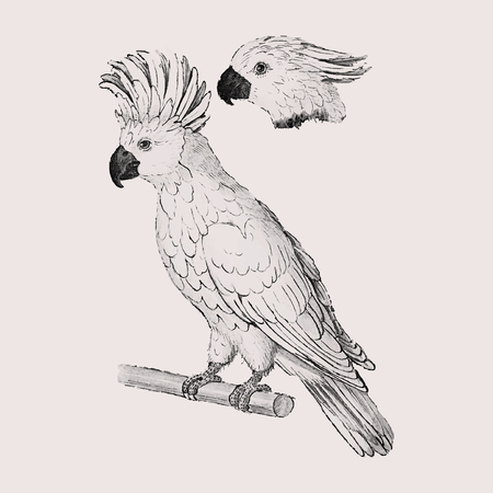 Vintage salmon crested cockatoo illustration in vector