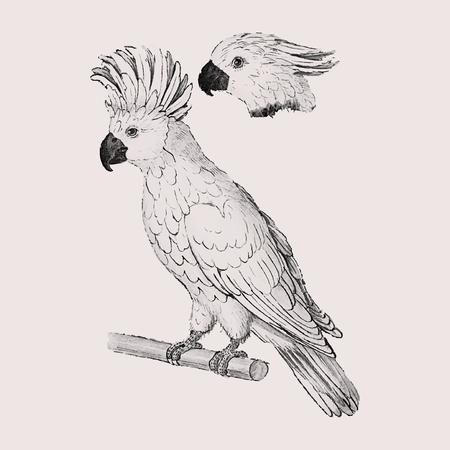 Vintage zalm kuifkaketoe illustratie in vector