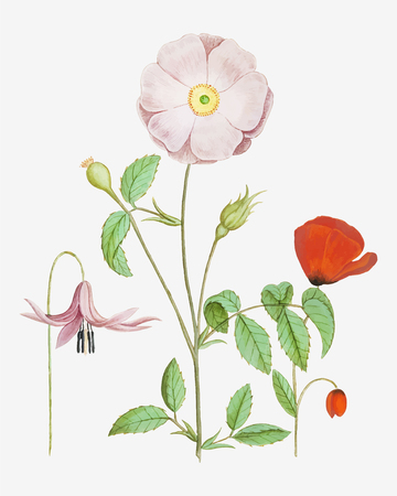 Dogstand flower, wild rose and papaver flower illustration in vector Ilustração