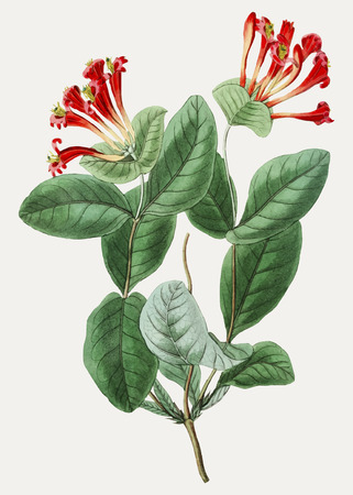 Vintage north-west honeysuckle flower for decoration Иллюстрация