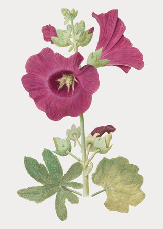 Vintage hollyhock flower illustration in vector