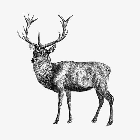 Zeichnung von Rotwild