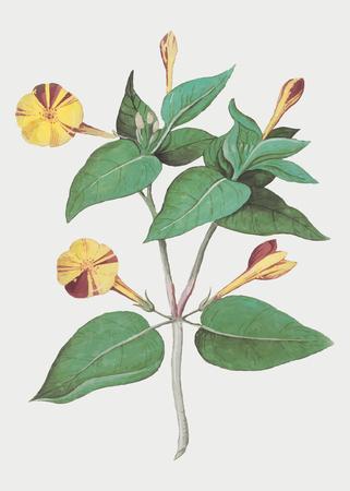 Vintage marvel of Peru flower illustration in vector Иллюстрация