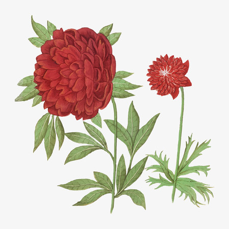 Vintage peony and anemone flower illustration in vector