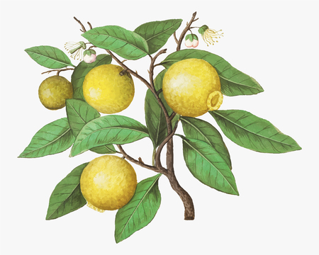 Vintage lemon branch illustration in vector Foto de archivo - 125239528