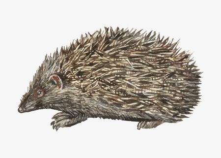 Vintage hedgehog illustration vector