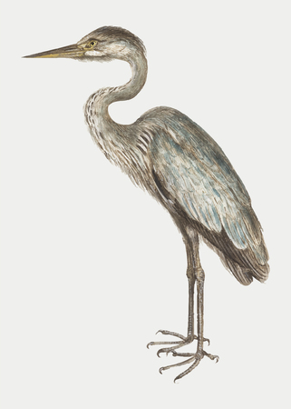 Vintage full length blue heron illustration vector
