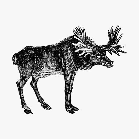 Vintage moose etching illustration