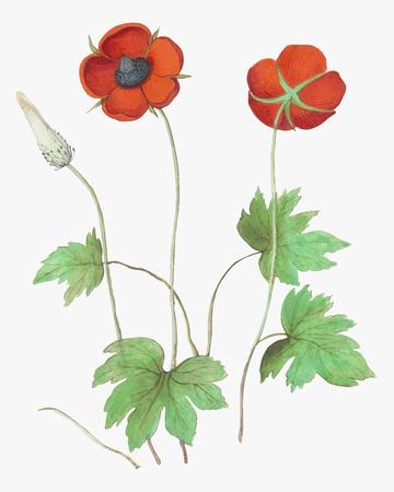 Vintage czerwony zawilec ilustracja kwiat w wektorze
