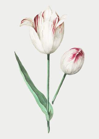 Vintage tulip flower illustration in vector Stockfoto - 125239551