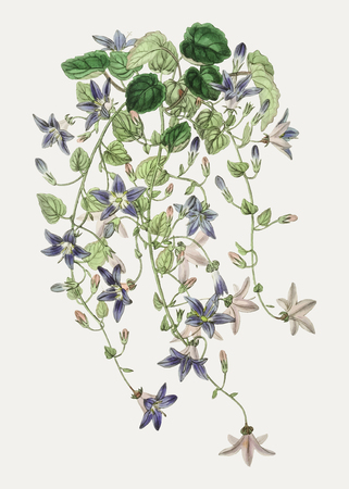 Vintage harebell of St.Angelo flower branch for decoration Illustration