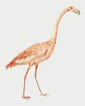 Vintage full length flamingo illustration vector 向量圖像