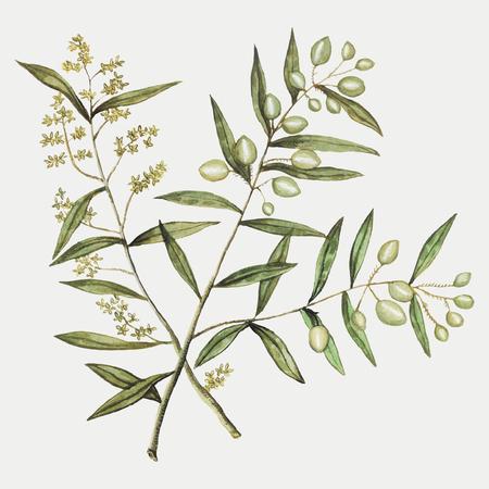 Vintage olive branch illustration in vector