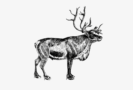 Drawing of wild European reindeer