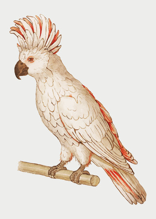 Vintage salmon crested cockatoo illustration in vector Vector Illustratie