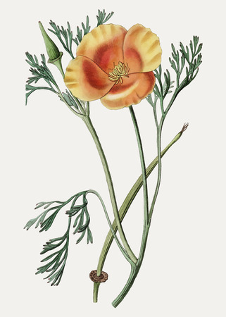 Vintage saffron colored eschscholzia for decoration Stock Illustratie
