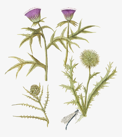 Vintage thistle and artichoke flower illustration in vector