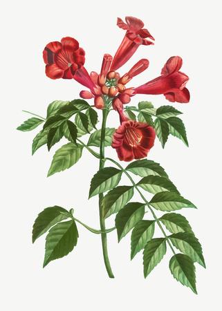 Blooming trumpet vine flower vector