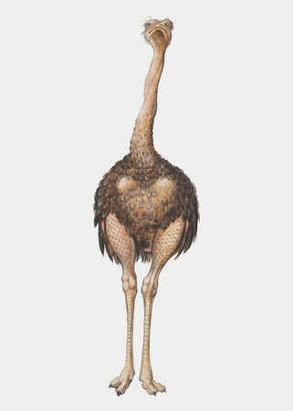 Vintage full length ostrich illustration vector