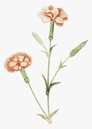 Vintage carnation flower illustration in vector