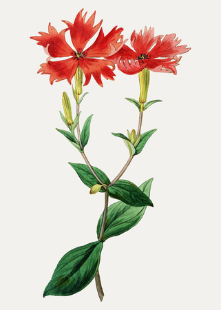 Vintage bunge's lychnis flower branch for decoration Illustration