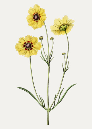Vintage Perennial dyer's coreopsis flower branch for decoration
