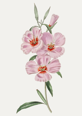 Vintage pink ruddy godetia branch for decoration Foto de archivo - 125239722