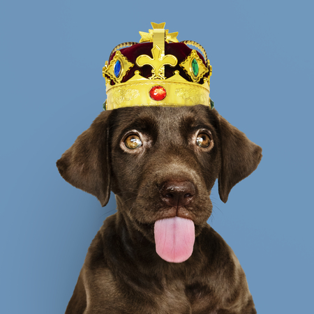 Cute chocolate Labrador Retriever in a classic red velvet and golden crown Imagens