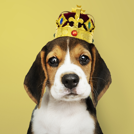 Cute Beagle puppy in a classic gold and red velvet crown 스톡 콘텐츠