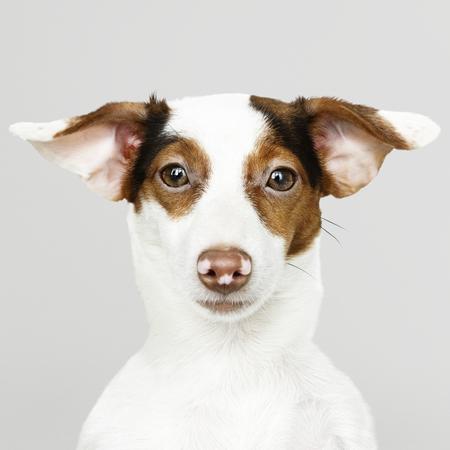 Schattig Jack Russell Retriever puppy portret Stockfoto