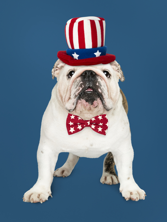 Cute white English Bulldog puppy in Uncle Sam hat and bow tie