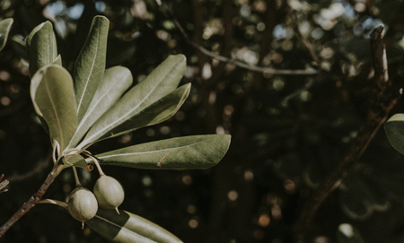 Homegrown Russian olives on a branch