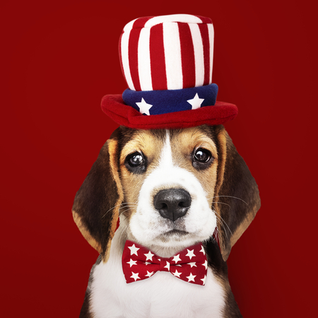 Cute Beagle puppy in Uncle Sam hat and bow tie 스톡 콘텐츠 - 117590613