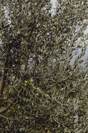 Russian olives on a tree