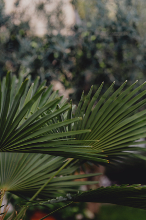 Green natural dwarf palmetto leaves