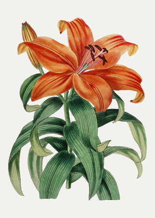 Vintage Thunberg's orange lily branch for decoration  イラスト・ベクター素材