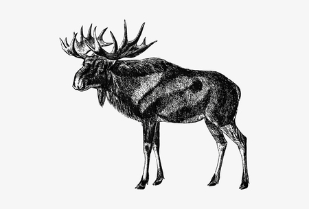 Drawing of Scandinavian elk
