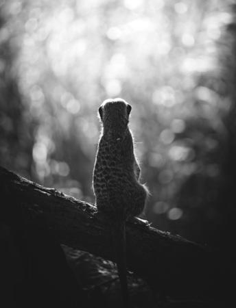 Suricata vigilante en el bosque