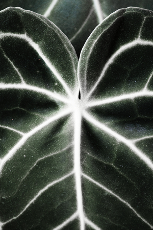 Close up of Xanthosoma leaves Reklamní fotografie