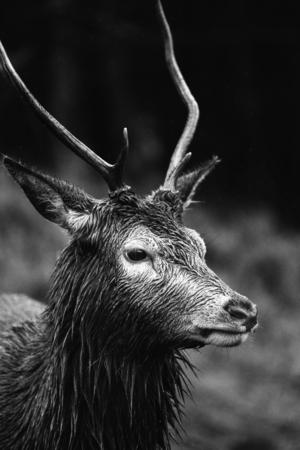 Deer at the Glen Etive, Scotland