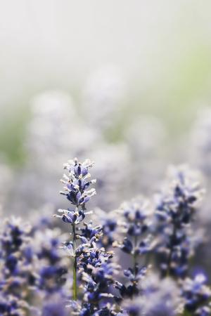 Purple lavender in a field macro shot