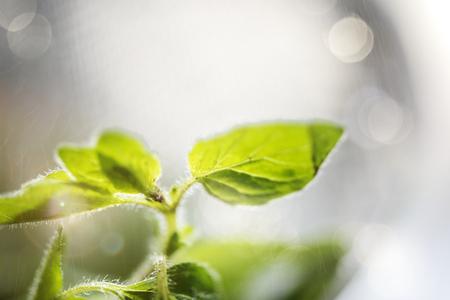 Fresh sweet basil herbs in a garden Stock Photo - 119944284