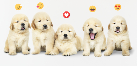 Five adorable golden retriever puppies