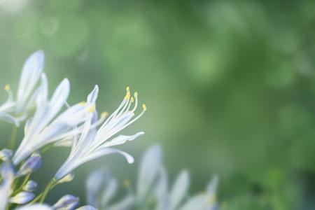 Bleu agapanthus flower in a garden macro shot Stock Photo