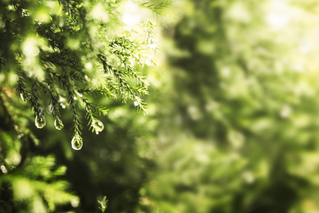 Green pine leaves with water drops background